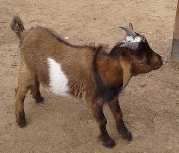 стихи про домашних животных «Говорит коровка «Му». Про козлика
