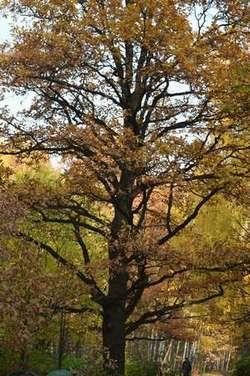 осенний дуб - иллюстрация к красивому стихотворению про осень