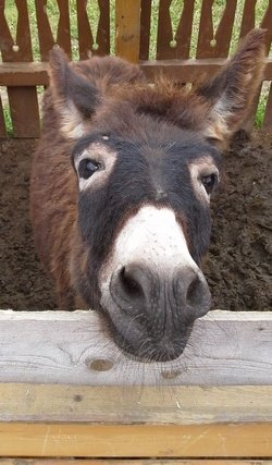 стихи про домашних животных «Говорит коровка «Му». Про ослика