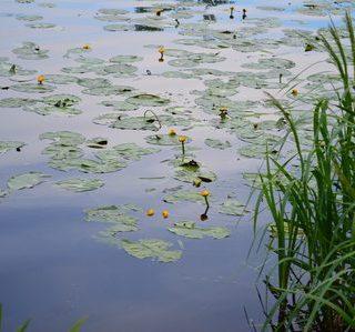 Утренний детский стишок про дедушку и внучка «Рыбёночка для ребёночка». речка с кувшинками