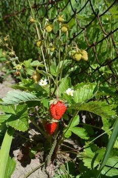Забавные стихи про ягоды для детей. Про клубничку, малину, ежевику и смородину. Земляничка