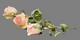 маленькая розовая розочка на прозрачном фоне
