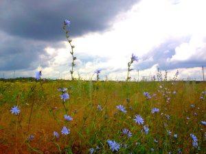 цикорий и небо иллюстрация к стихотворению о жизни человека