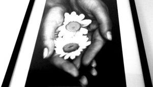 Черно-белые ромашки в руках