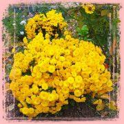 Желтые маленькие кустовые хризантемы