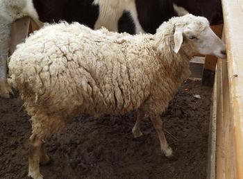 стихи про домашних животных «Говорит коровка «Му». Про барашка