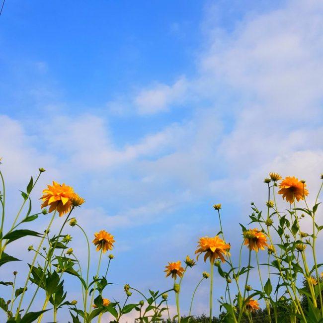 желтые цветы на синем небе