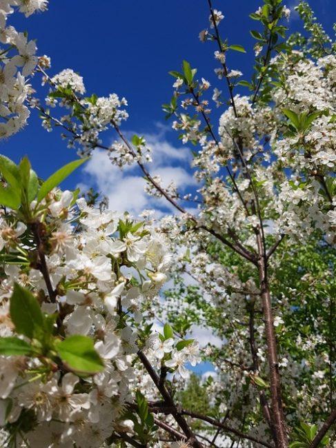 Цветушая вишня на фоне голубого неба