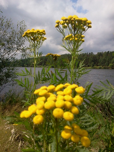 пижма на  фоне озера